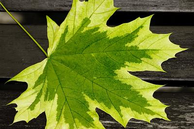Male leaf on a bench