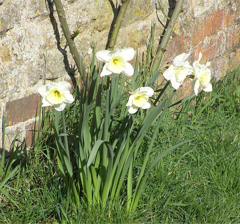 cotswolds_daffodill_March2005