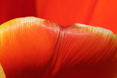 Tulip petal, #1