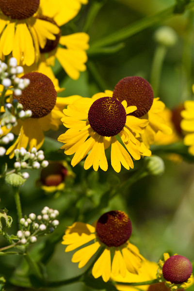 Purple headed Sneezeweed - July 21, 2012