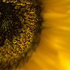 Sunflower 04