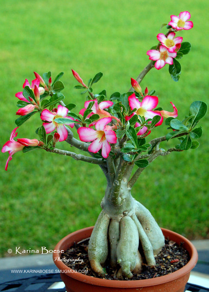 Bonsai Desert Rose<br /> Adenium obesum<br /> <br /> It's native of East Africa.  Late May 2008: the most blooms that I ever got in 2 years!