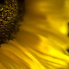 Sunflower 01