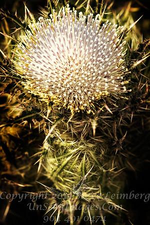 Thistle White Oak - Copyright 2017 Steve Leimberg - UnSeenImages Com _Z2A7932