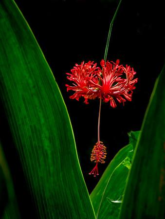 Hibiscus species