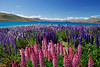 Colorful Lupine along the shore of Lake Pukaki with Mt. Cook range in the distance - Tekapo, New Zealand