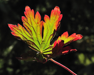 Fall leaf in the sunlight...near Silverton CO.