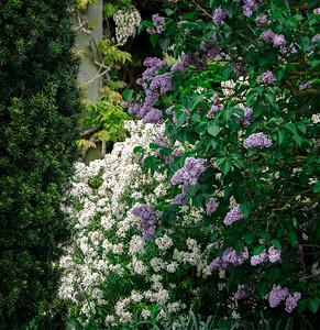 Purple Lilocs and White flowers