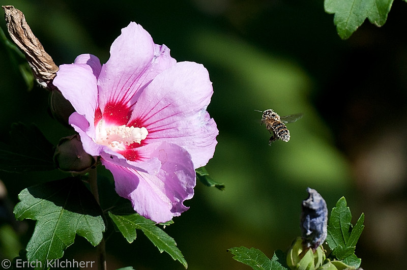 Hibiscus and Bee