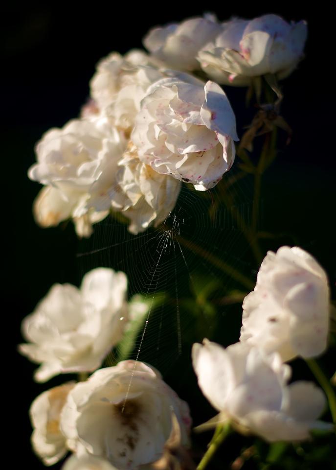 Roses_2010-11-17_635_DJB_rights_reserved