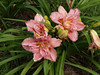 All of the day lillies are grown on my sister Kathy and her husband Ben's farm in Crystal Springs, MS