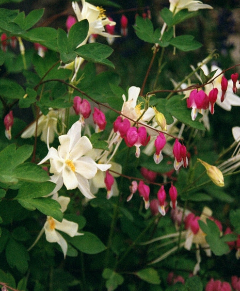 Columbine & Bleeding Heart