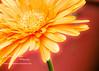 gerbera daisy glow (1 of 1)