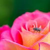 A fly and a rose