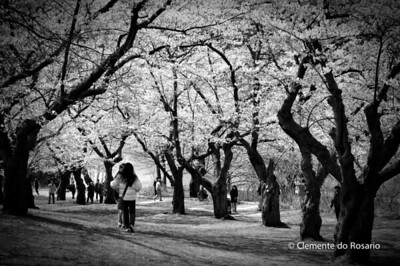 Cherry Blossoms in bloom in High Park Toronto Ontario