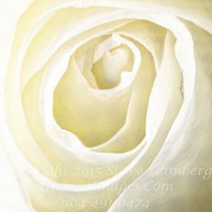 White Rose - Copyright 2016 Steve Leimberg - UnSeenImages Com 2016-12-13 22-43-38 (C)