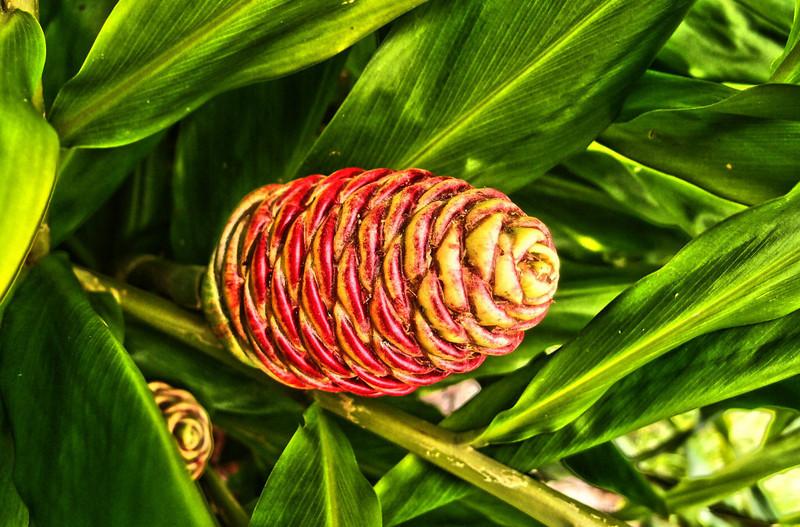 fruit of ginger plant