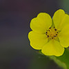 Cinquefoil - May 19, 2012