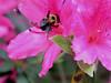 bumble bee on azalea bloom