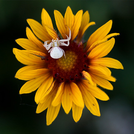 A crab spider setting up it's space on a Brown Eyed Susan.  Found along a gravel road, south of Turner Valley AB.