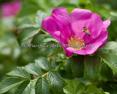 Honeybee on a pretty pink, California Wild Rose (Rosa californica)