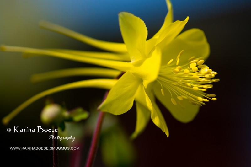 DSC_7063 columbine yellow flower 2010 1