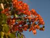Saba - Bougainvillea vines encrust the front of Scout's Place.  © Rick Collier
