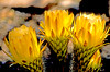 Trio of yellow cactus blooms