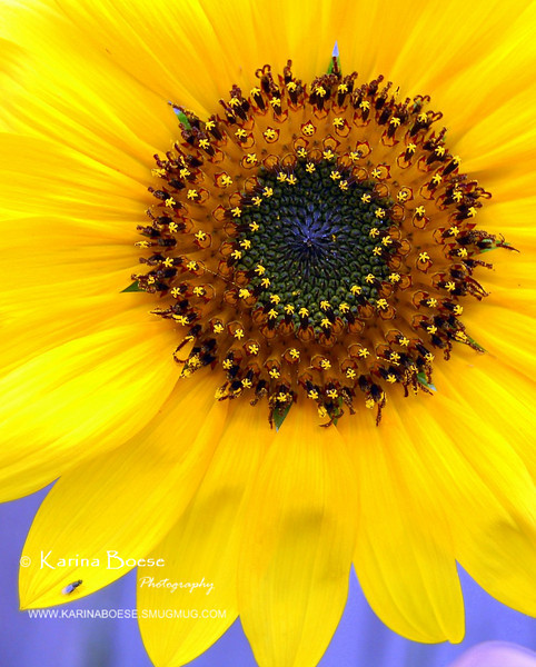 "Sun Flower 2nd Contender after <a href=""http://karinaboese.smugmug.com/gallery/4715409_6eWPG#288453503_F8dsz""> Gardener's Day Off</a> - Daily Photos, Day 20"