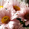 Pink daisies in a bunch.