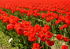 Tulips in Skagit Valley, WA