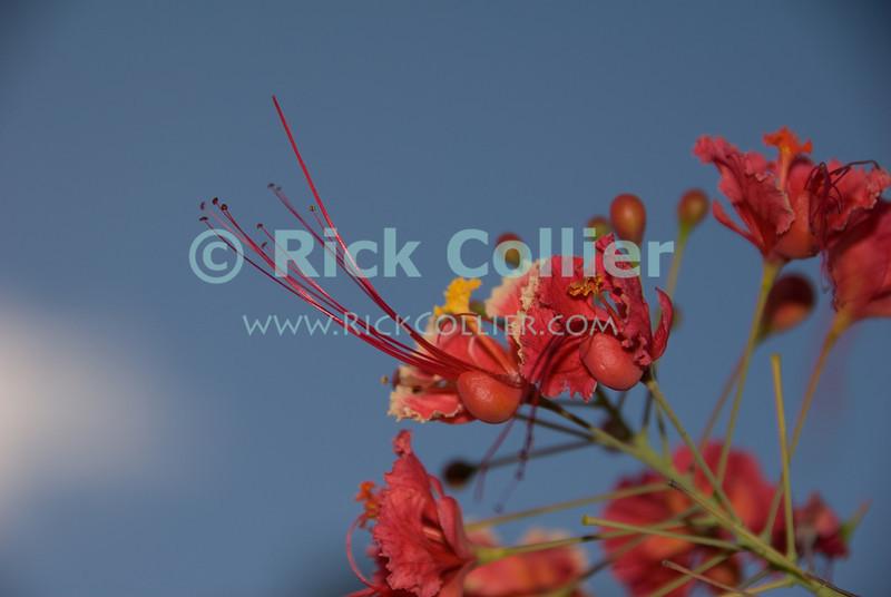 St. Eustatius (Statia) - Pride of Barbados Flower.  © Rick Collier