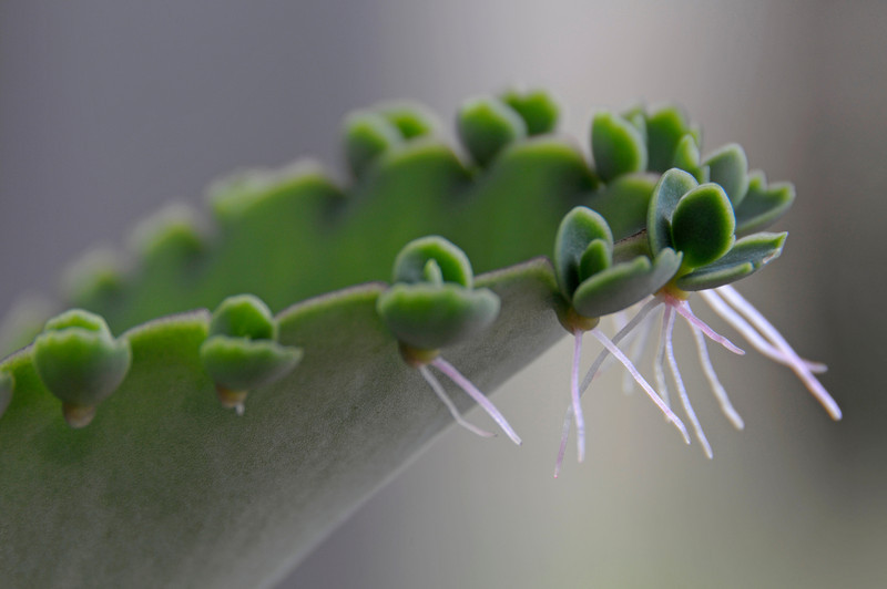 """Kalanchoe """"babies"""" ready to drop and root"""