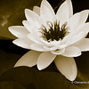 Water Lily in Black and White