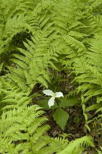 Trillium in ferns