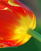 """Tulip <br /> Inspired by Shelly's Valentine's Tulip<br />  <a href=""""http://www.spccreative.com/"""">http://www.spccreative.com/</a><br /> <br /> Thank you for the inspiration, Shelly."""
