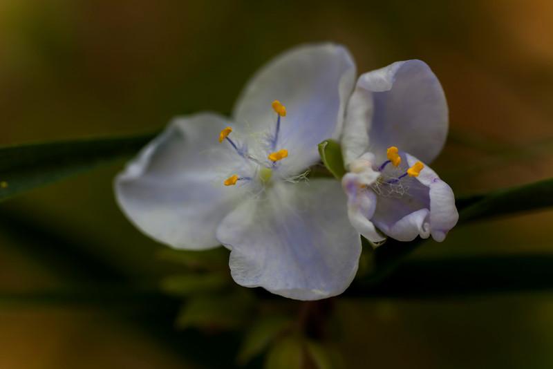 White Spiderwort