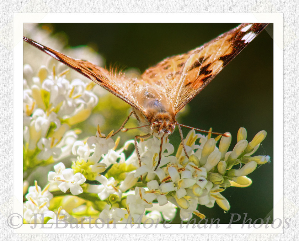 """Vanessa Feeding Vanessa Cardui - """"Painted Lady"""" butterfly One of the most common in Europe"""