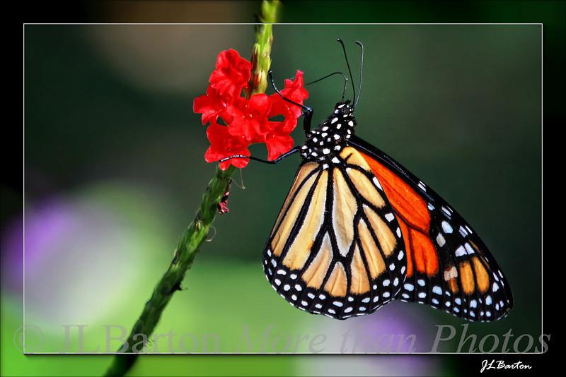 Monarch feeding Sarasota, FL