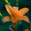Tiger Lilly 2010