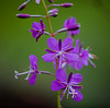 Fireweed (Chamerion angustifolium), a member of the Evening-primrose family, found in Glacier National Park, closeup