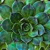 succulent (aeonium)