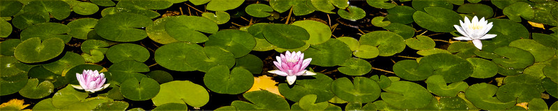 Water lilies amidst the green leaves