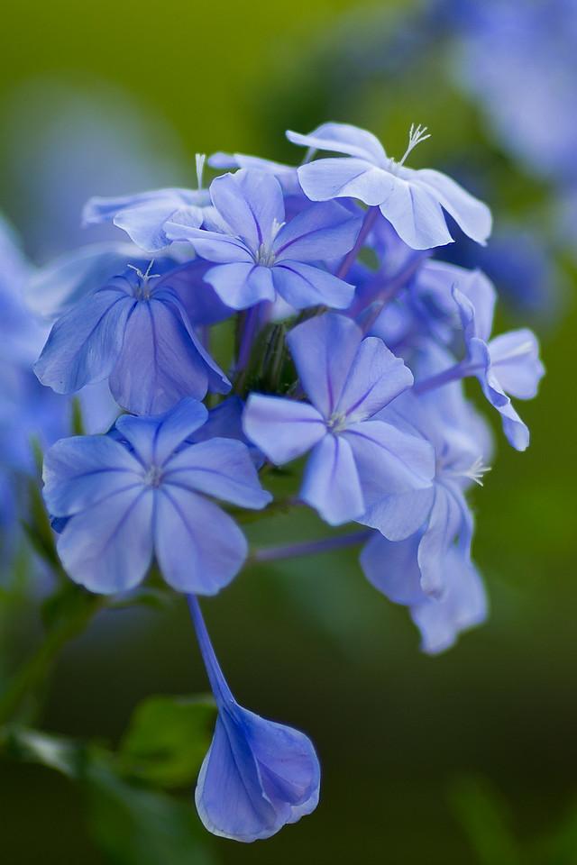 Leadwort, Hardy Blue Plumbago (Ceratostigma plumbaginoides) - Alfred B. Maclay Gardens State Park, Florida