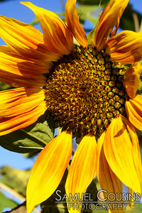 Sunflower in the garden of the St Lawrence Arts Center.