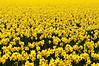 Daffodils in Skagit Valley, WA