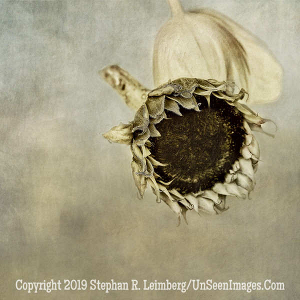 Sunflower and Tulip PAINTING B&W - Copyright 2015 Steve Leimberg - UnSeenImages Com A8437993