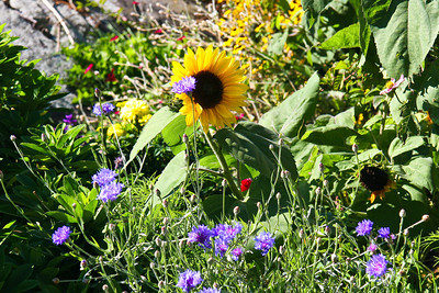 Sunflower on Monhegan,Island, Maine #2403