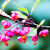 Spindle tree flower