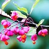 Spindle tree flower